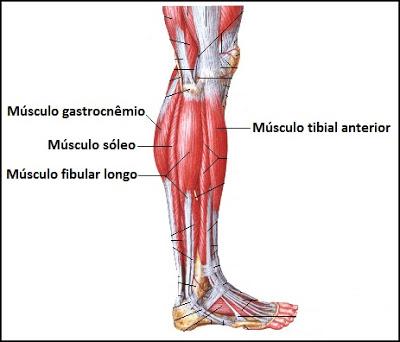 18 tibial anterior - Anatomia