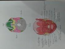 Pontos craniométrico