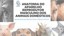 Anatomia do aparelho reprodutor masculino (slide)