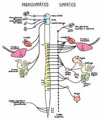 sistema nervoso simpáticoe parassimpático