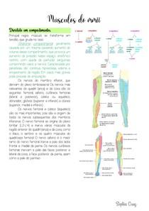 Anatomia músculos MMII