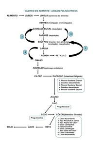 Digestão de Poligástrico - Esquema