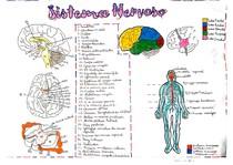 Anatomia Humana: Sistema Nervoso