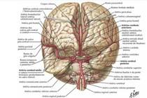Irrigação cerebral