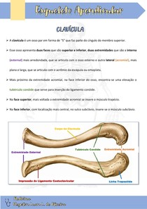 Cíngulo do Membro Superiore - Clavícula