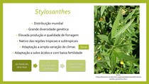 Gênero Stylosanthes - Forragicultura