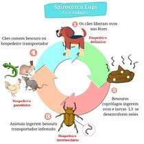 Ciclo biológico da Spirocerca lupi