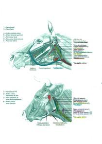 Plexos vascular e nervoso de bovino e equino