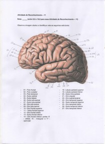 Anatomia do encéfalo