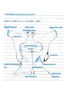 Osteologia: ossos do membro pélvico | CA I MACRO