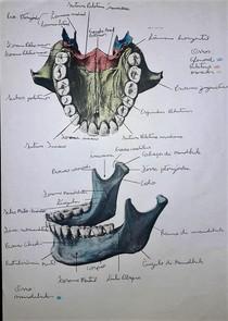 Anatomia óssea (Mandíbula, Palatino, Maxilar)