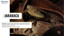 Apresentação de Parasitologia - Jararaca