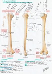 Anatomia do úmero