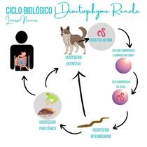 Dioctophyme Renale - Ciclo Biológico   Mapa Mental