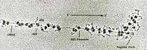56-Transcri+º+úodoRNAmduranteas+¡nteseprot+®ica.ObserveRNAm~