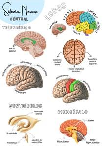 anatomia humana - sistema nervoso