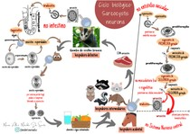 Esquema: ciclo biológico- Sarcocystis neurona