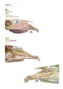 OSTEOLOGIA VETERINÁRIA - OSSO MAXILAR