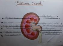 anatomia sistema renal