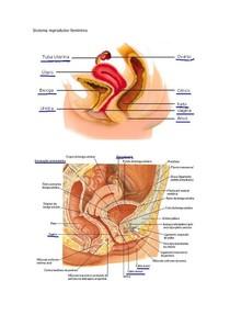 Figuras do Sistema reprodutor feminino