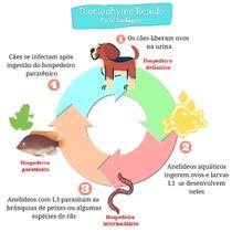 Ciclo biológico da Dioctophyme renale