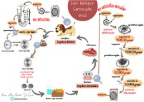 Esquema: ciclo biológico- Sarcocystis cruzi