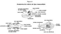 anatomia cranio cao