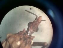 panstrongylus