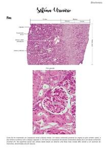 Sistema Urinário- fotos histológicas