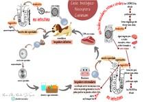 Esquema: ciclo biológico- Neospora Caninum