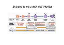 Aula maturação de linf B