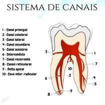 Esquema de sistema de canais radiculares - endodontia