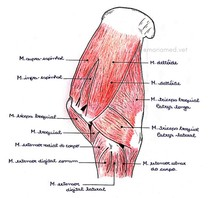 Musculatura Superficial Lateral do Membro Torácico