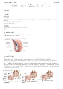 anatomia sistema genital masculino