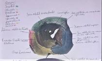 Anatomia óssea da Órbita