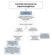 Controle hormonal da espermatogênese