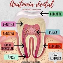 Anatomia dental - estruturas internas