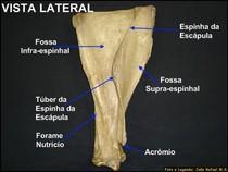 Escapula - lateral
