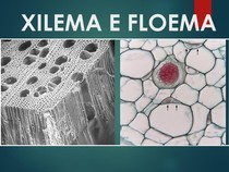 Xilema E Floema Morfologia Vegetal