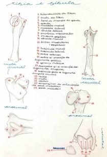 Tíbia e fíbula - acidentes ósseos.
