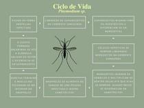 Ciclo de Vida - Plasmodium sp