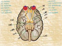 Nervos Cranianos DESENHO