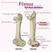 Fêmur - Anatomia