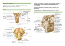 Anatomia macroscópica do tronco encefálico e do cerebelo
