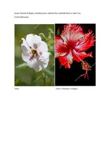 Prancha Família Malvaceae