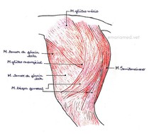 Musculatura Superficial Lateral do Membro Pelvino