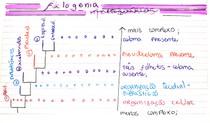 Filogênia dos metazoários (RESUMO - PARTE 1)