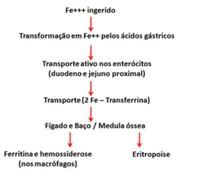 metabolismo do ferro (resumido)