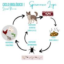 Spirocerca Lupi - Ciclo Biológico   Mapa Mental