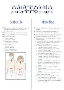 Sistema Endocrino - Anatomia